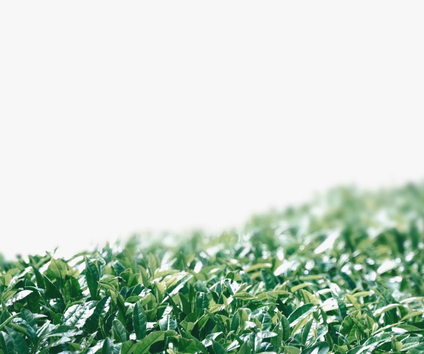 Matcha leaves