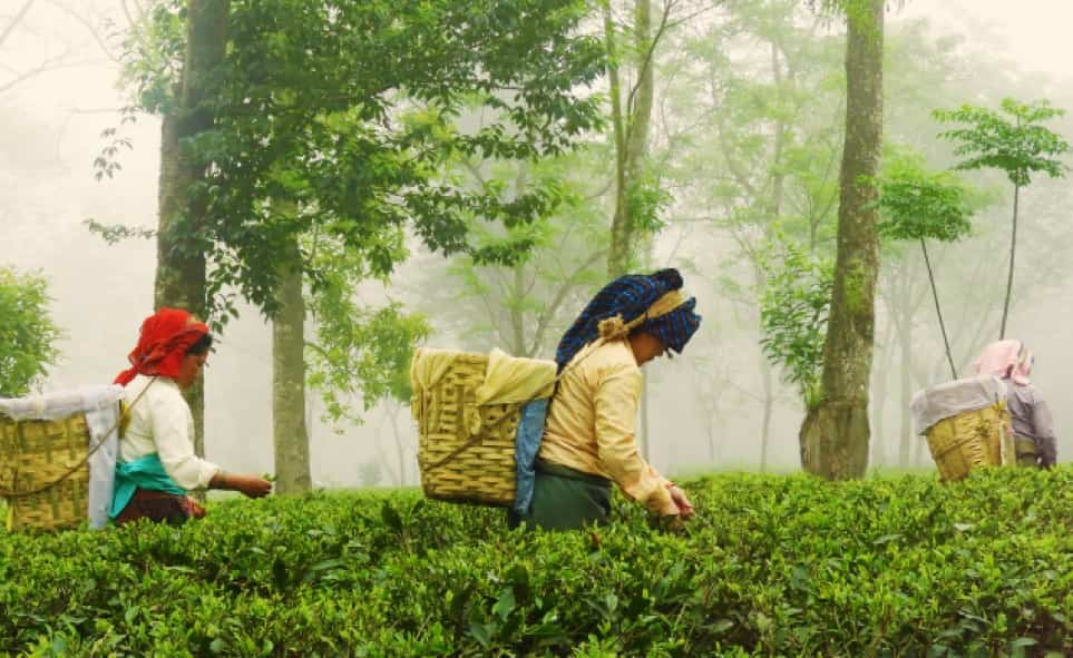 Three women picking tea leaves in a forest.