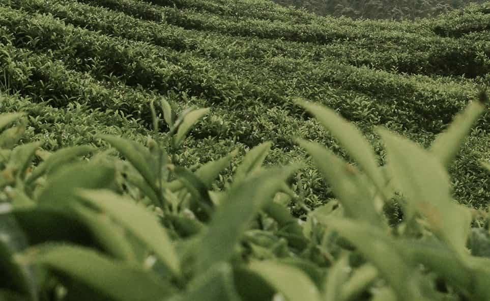 Trois femmes cueillent des feuilles de thés dans une forêt.